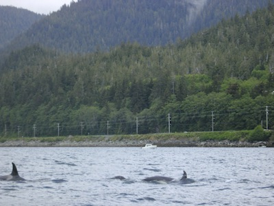 killer whales near mountain point in ketchikan alaska