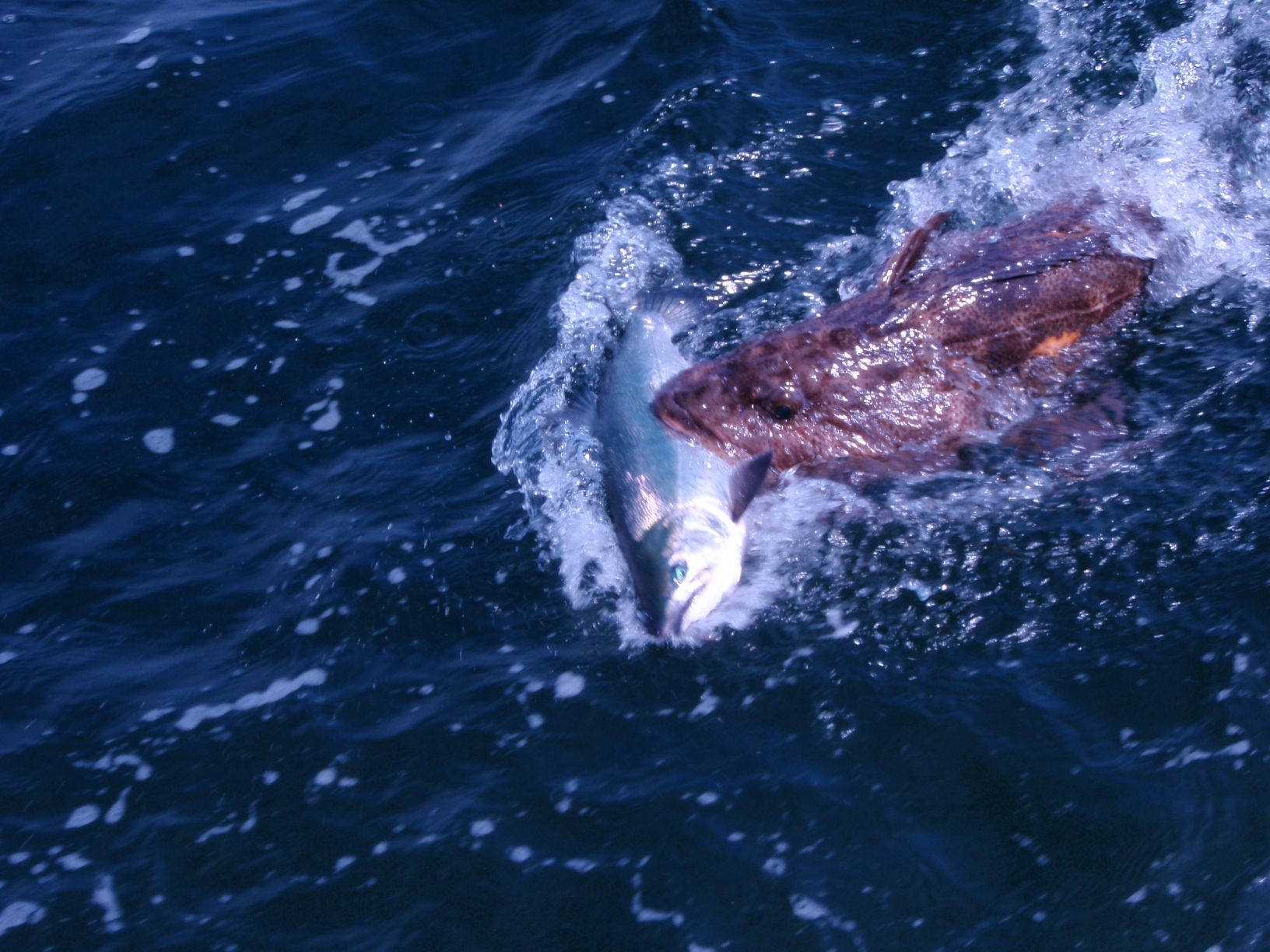 Hungry lingcod for Ketchikan salmon fishing